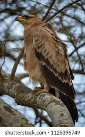 Tawny eagle on branch with ruffled feathers