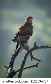 Tawny eagle on dead branch facing right