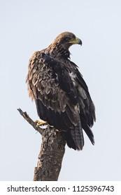 Tawny eagle on tree stump turning head