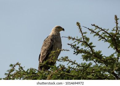 tawny eagle perched in the branches of a tree in the Maasai Mara, Kenya