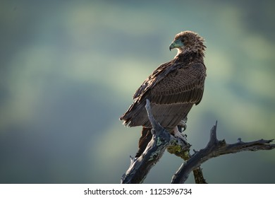 Tawny eagle perched on twisted dead branch