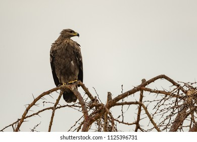 Tawny eagle perched on whistling acacia branch