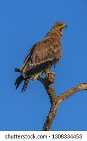 Tawny Eagle perched in a tree above the Serengeti