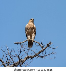 A Tawny eagle perched in a tree in Namibian savanna
