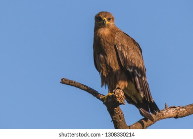 Tawny eagle perched in a tree while on safari