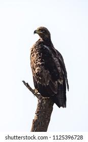 Tawny eagle perches on dead tree stump