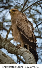 Tawny eagle with ruffled feathers on branch
