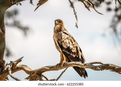 Tawny eagle sitting on a branch in the Kgalagadi Transfrontier Park, South Africa.