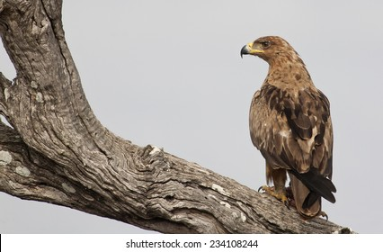 Tawny Eagle sitting on a tree branch after eating