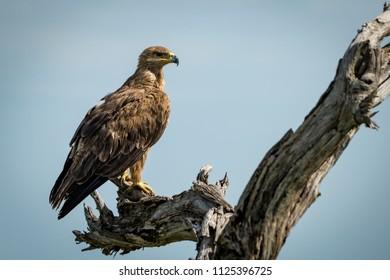 Tawny eagle standing on dead tree stump