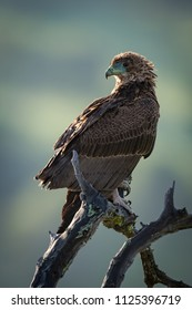 Tawny eagle standing on twisted dead branch