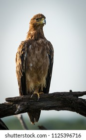 Tawny eagle stretching neck on twisted tree