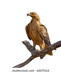 Tawny Eagle and tree branch isolated on white background