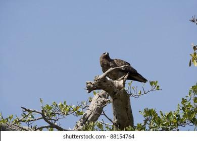 Tawny Eagle in a tree in the Masai Mara