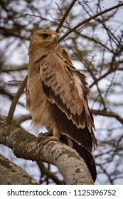 Tawny eagle in tree with ruffled feathers