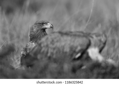Tawny eagle waiting for the vulture to move from the carcass, Masai Mara, Kenya