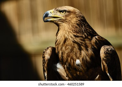 Tawny Eagles  - African Bird of Prey Sanctuary,