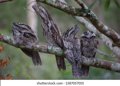Tawny Frogmouth Family visit in the morning