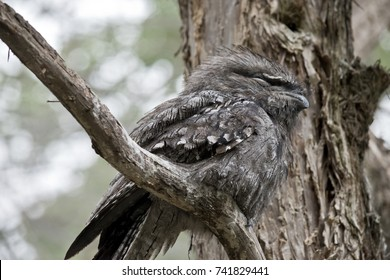 the tawny frogmouth is hiding in a tree