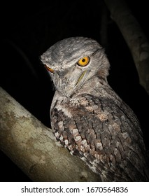 Tawny Frogmouth at night, Northern Territory Australia