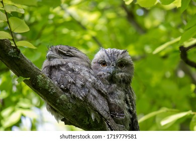 Tawny Frogmouth Owls sitting in a tree