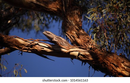 A Tawny Frogmouth perched secretly on a branch