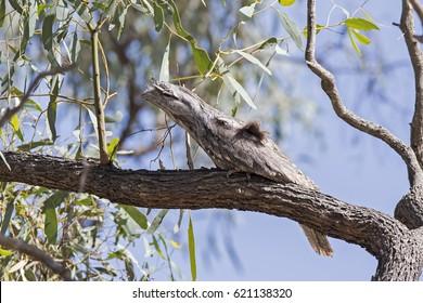 Tawny Frogmouth (Podargus strigoides). Lake Merrin, Boort, Victoria, Australia