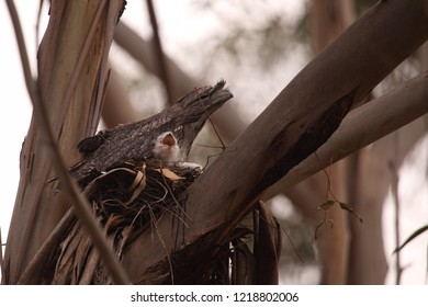 A Tawny Frogmouth sitting on its nest with a fluffy white chick