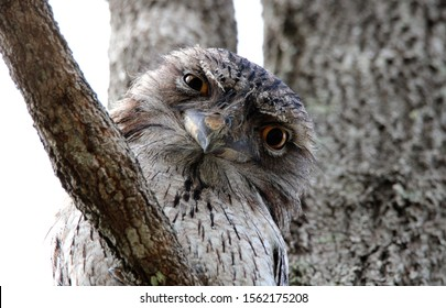 Tawny Frogmouth sitting in a tree.