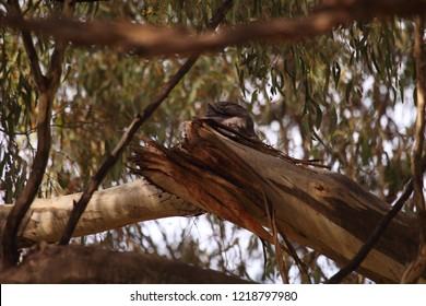 A Tawny Frogmouth well hidden sitting on its nest