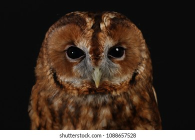 The tawny owl or brown owl (Strix aluco) is a stocky, medium-sized owl commonly found in woodlands across much of Eurasia.