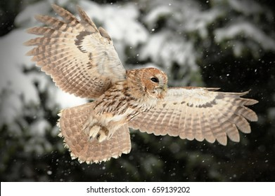 The tawny owl or brown owl (Strix aluco) is a stocky, found in woodlands across This nocturnal bird of prey hunts mainly rodents, usually by dropping from a perch to seize its prey,. Owl in flight