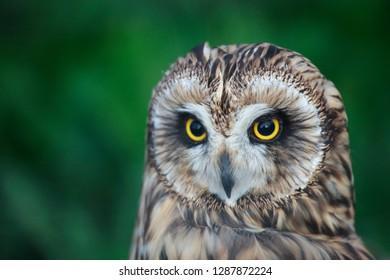 Tawny owl close up