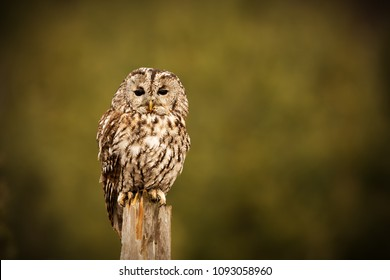 tawny owl in detail with green backround