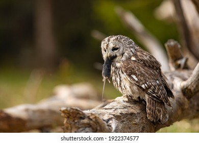 Tawny owl in the forest with mouse in the beak. Brown owl (Strix aluco) sitting on tree in the forest habitat with catch. Beautiful bird in the forest.