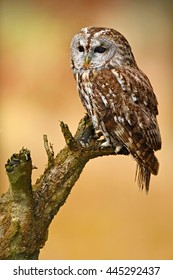 Tawny owl in the forest, sitting on tree stump in the dark forest habitat. Bird in the forest. Wildlife scene from European nature.
