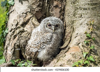 Tawny Owl in front of a tree / Tawny Owl