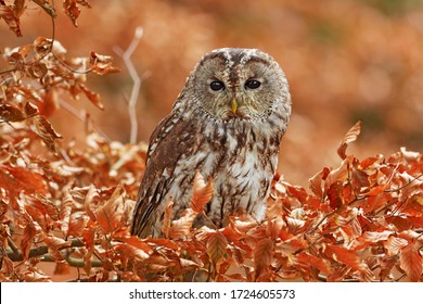 Tawny owl hidden in the fall wood, sitting on tree trunk in the dark forest habitat. Beautiful animal in nature. Bird in the Germany forest. Autumn wildlife in the Forrest. Orange leaves with bird.