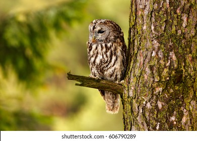 Tawny owl hidden in the forest. Brown owl sitting on tree stump in the dark forest habitat. Beautiful animal in nature. Wildlife scene from dark spruce forest.