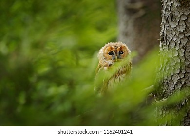 Tawny owl hidden in the spruce forest. Brown owl sitting on tree stump in the dark forest habitat. Beautiful animal in the nature. Bird in the Germany forest. Wildlife scene from dark wood.