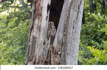 Tawny owl in hole of tree