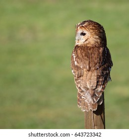 Tawny Owl, also known as Brown Owl, perched on a wooden stick