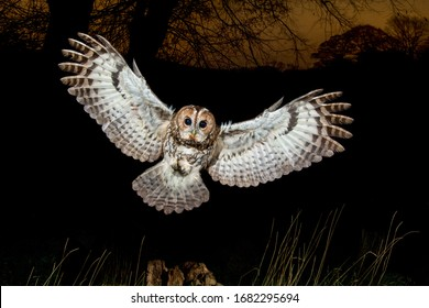Tawny Owl landing at night with wings spread out. Strix Aluco, European Wild Owl