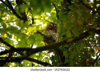 Tawny Owl perched on a branch during the day.