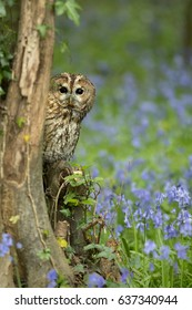 Tawny Owl perched on branch in bluebell wood peeking round a tree