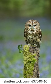 Tawny Owl perched on a fence post in bluebell wood.