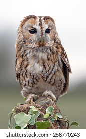 Tawny Owl perched on ivy covered stump/Tawny Owl/Tawny Owl (Strix Aluco)