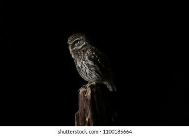 Tawny Owl Portrait