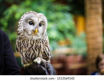 Tawny Owl portrait in nature