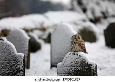 Tawny owl sit in the cemetery - Strix Aluco